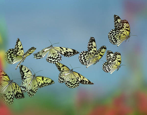 Wall Art - Photograph - Paper Kite Butterflies Flying by Tim Fitzharris
