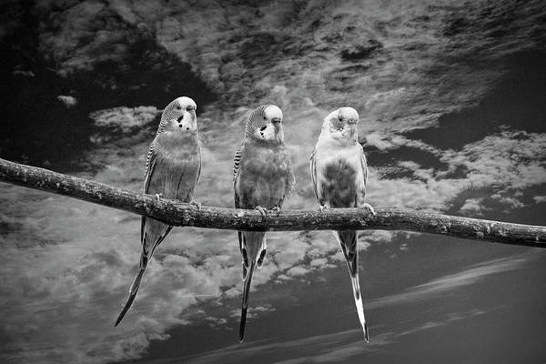 Wall Art - Photograph - Parakeets  Perched Out On A Tree Branch Limb With Cloiudy Blue S by Randall Nyhof