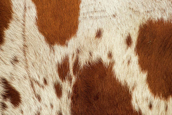 Photograph - Pattern Of A Longhorn Bull Cowhide. by Rob D Imagery