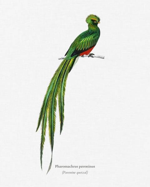 Wall Art - Painting - Pavonine Quetzal  Pharomachrus Pavoninus Illustrated By Charles Dessalines D Orbigny  1806 1876 3 by Celestial Images