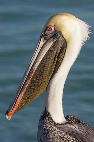 Wall Art - Photograph - Pelican Close Up by Paul Schultz