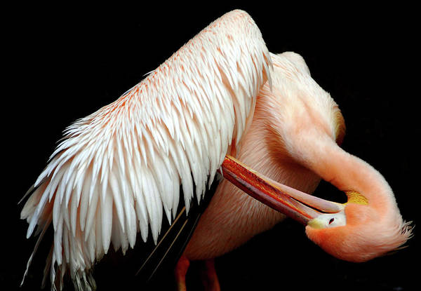 Wall Art - Photograph - Pelican by Floridapfe From S.korea Kim In Cherl
