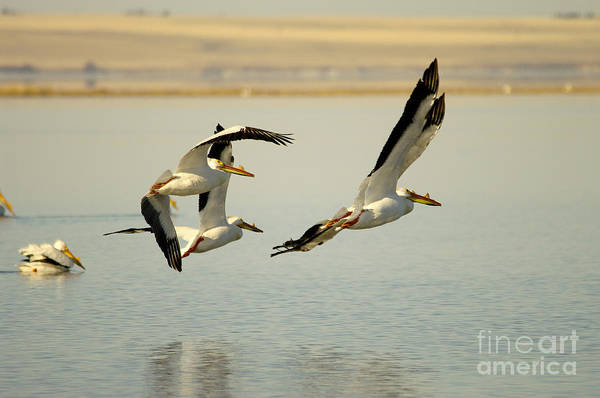 Wall Art - Photograph - Pelicans In Flight by Jeff Swan