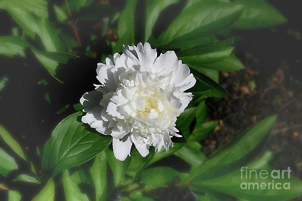 Wall Art - Photograph - Peony Time by Arnie Goldstein