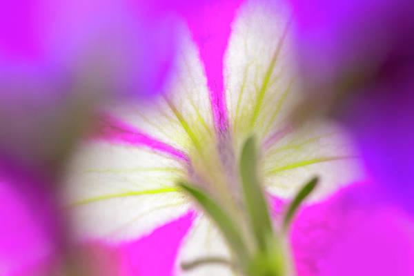 Wall Art - Photograph - Petunia Flower Viewed by Adam Jones