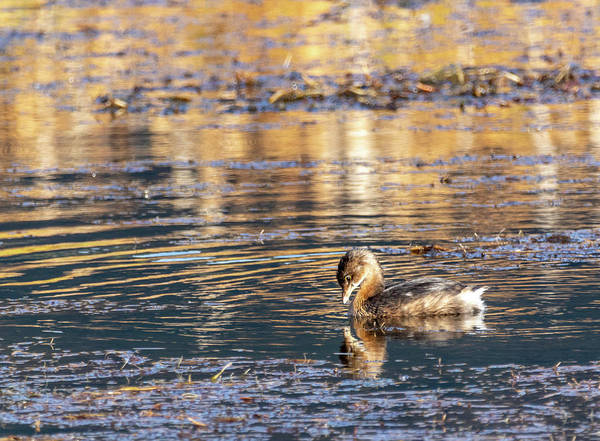 Photograph - Pied Billed Grebe by Michael Chatt