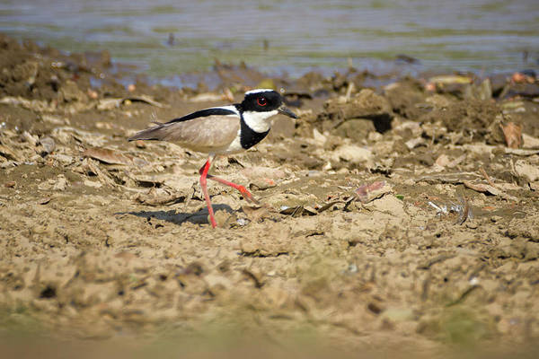 Photograph - Pied Plover Hato Berlin Casanare Colombia by Adam Rainoff