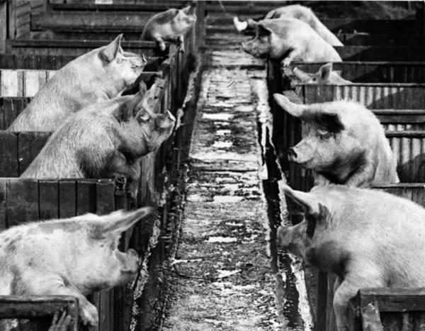 Pig Photograph - Pig Sty Gossip by Fox Photos