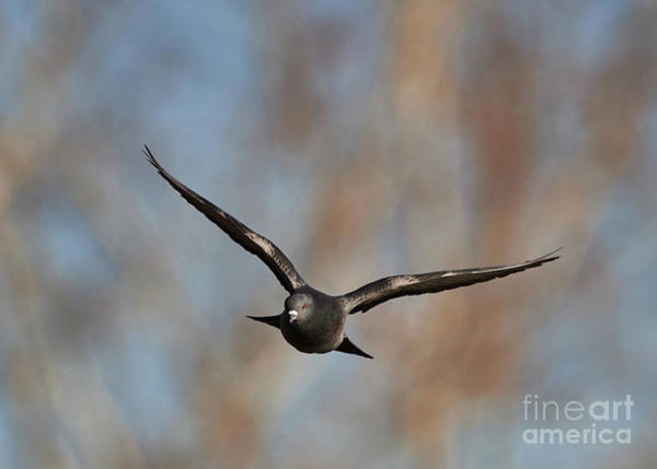 Photograph - Pigeon In Flight by Robert WK Clark