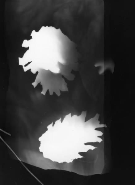 Photograph - Pine Cones Monochrome Photogram  by Itsonlythemoon