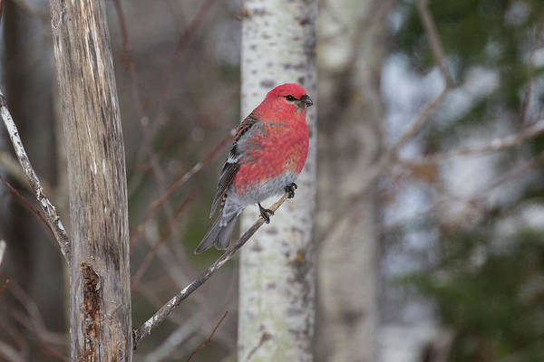 Photograph - Pine Grosbeak, Sax Zim Bog by Paul Schultz