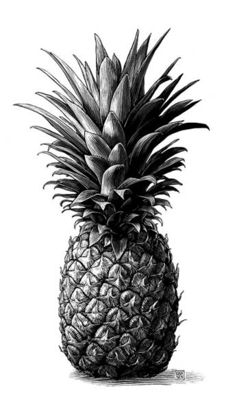 Drawing - Pineapple by Clint Hansen