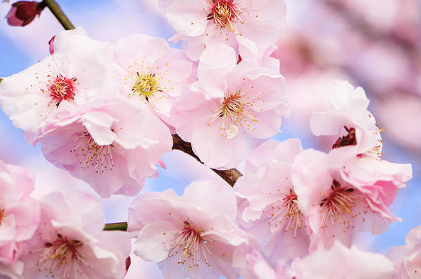Season Photograph - Pink Cherry Blossom by Ogphoto
