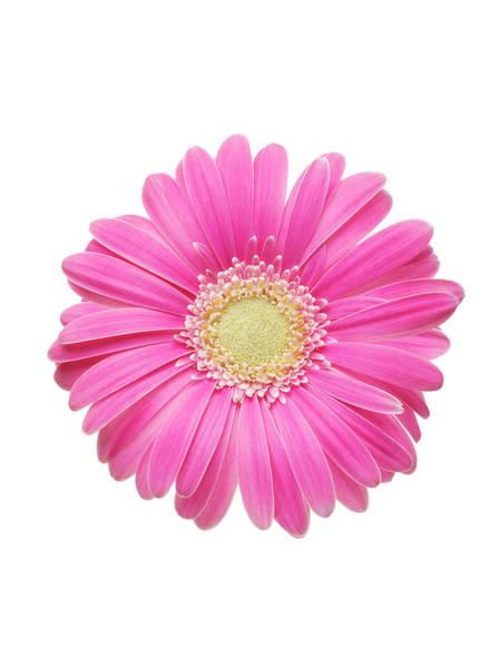 Daisy Photograph - Pink Gerbera Daisy by Mike Lorrig