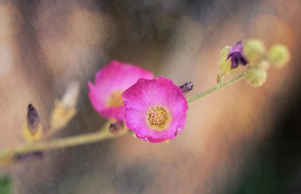 Wall Art - Photograph - Pink Penstemon Flowers  by Saija Lehtonen