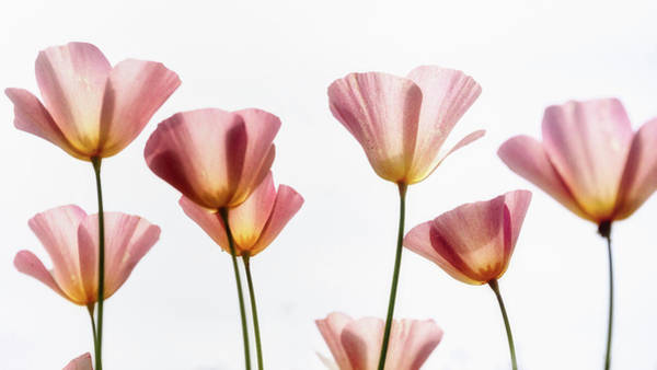Wall Art - Photograph - Pink Poppies  by Saija Lehtonen