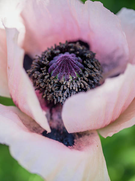Photograph - Pink Poppy Center by Rebecca Cozart