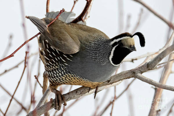 Quail Wall Art - Photograph - Poised To Fly by Mike Dawson