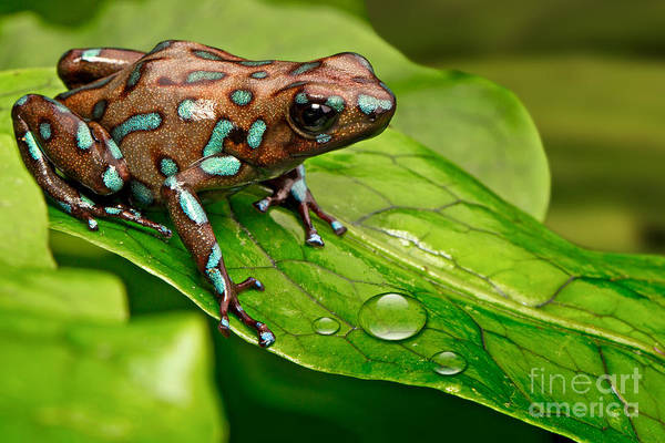 Wall Art - Photograph - Poison Dart Frog Dendrobates Auratus by Dirk Ercken