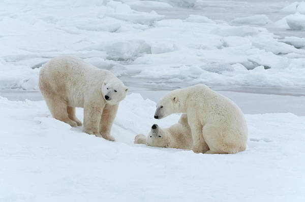 Wall Art - Photograph - Polar Bears In The Wild. A Powerful by Mint Images - David Schultz