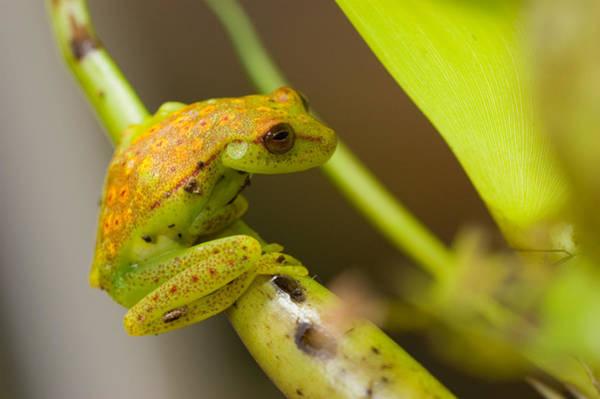 Photograph - Polkadot Treefrog Hyla Punctata Punctata by Michael Lustbader