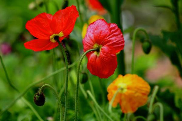 Wall Art - Photograph - Poppies by Kevin Wheeler