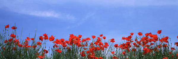 Wall Art - Photograph - Poppy Field In Bloom, Tuscany, Italy by Panoramic Images
