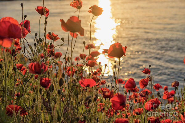 Wall Art - Photograph - Poppy Flowers At Sunset by Patricia Hofmeester