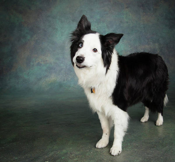 Collie Photograph - Portrait Of A Border Collie Dog by Panoramic Images