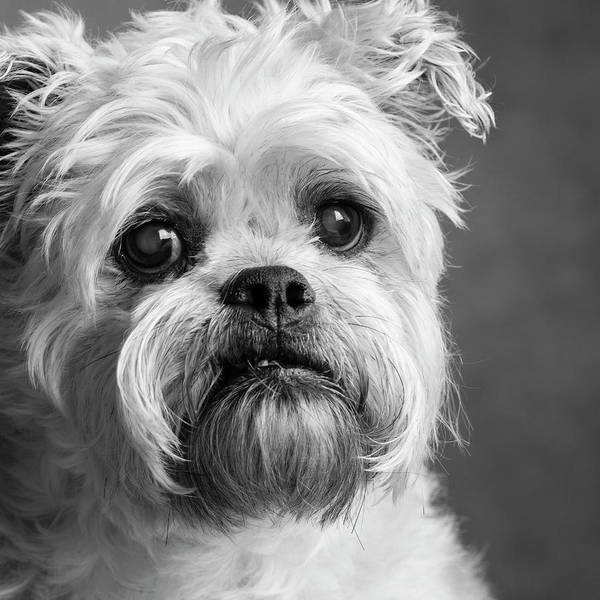 Wall Art - Photograph - Portrait Of A Brussels Griffon Dog by Panoramic Images