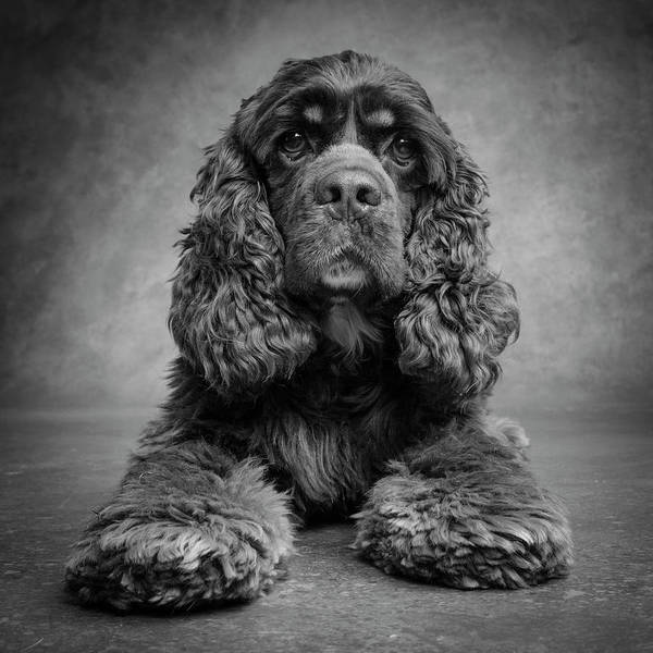 Cocker Spaniel Photograph - Portrait Of A Cocker Spaniel Dog by Panoramic Images