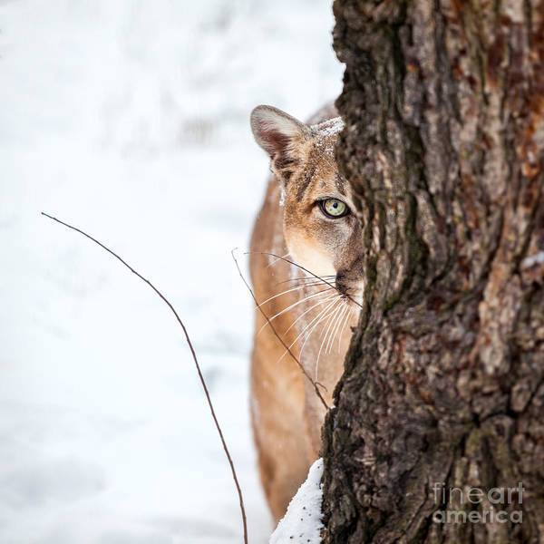 Hiking Path Photograph - Portrait Of A Cougar, Mountain Lion by Baranov E