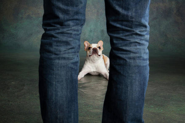 French Bulldog Photograph - Portrait Of A French Bulldog by Panoramic Images