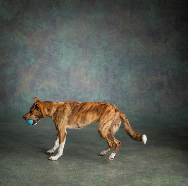 Collie Photograph - Portrait Of A Greyhound Collie Mix Dog by Panoramic Images