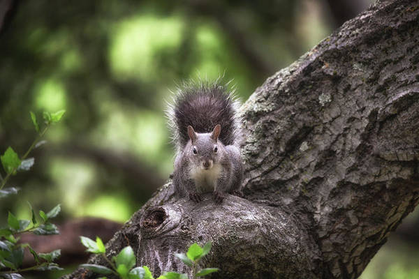 Wall Art - Photograph - Portrait Of A Squirrel  by Marnie Patchett