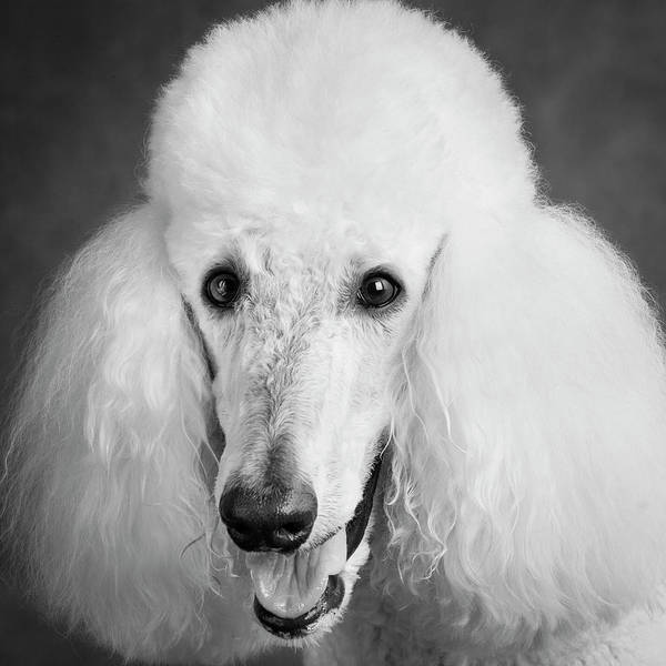 Wall Art - Photograph - Portrait Of A Standard Poodle Dog by Panoramic Images