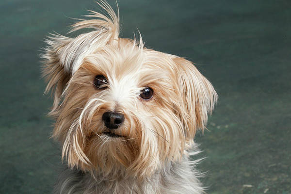 Yorkie Wall Art - Photograph - Portrait Of A Yorkie Dog by Panoramic Images