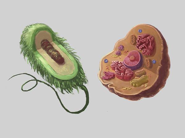 Wall Art - Photograph - Prokaryotic And Eukaryotic Cells by Spencer Sutton