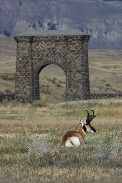 Wall Art - Photograph - Pronghorn In Yellowstone by David Hosking