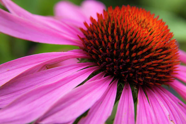 Photograph - Purple Coneflower by Mark Mille