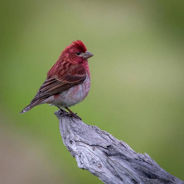 Photograph - Purple Finch #1 by David Heilman