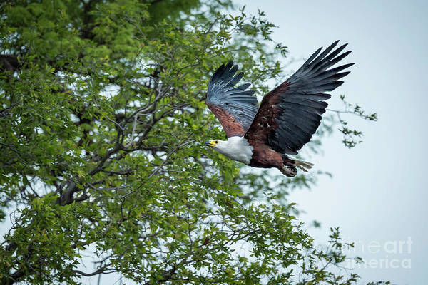 Wall Art - Photograph - African Fish Eagle In Flight by Timothy Hacker