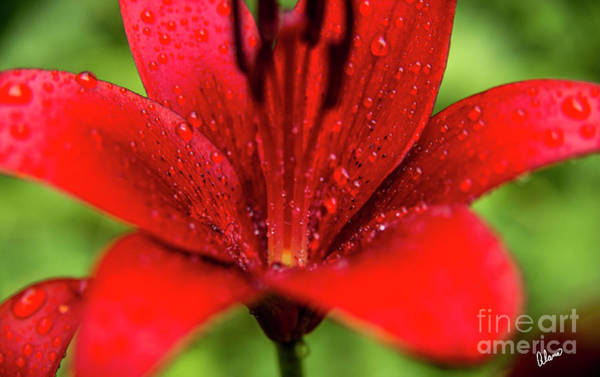 Photograph - Red by Alana Ranney