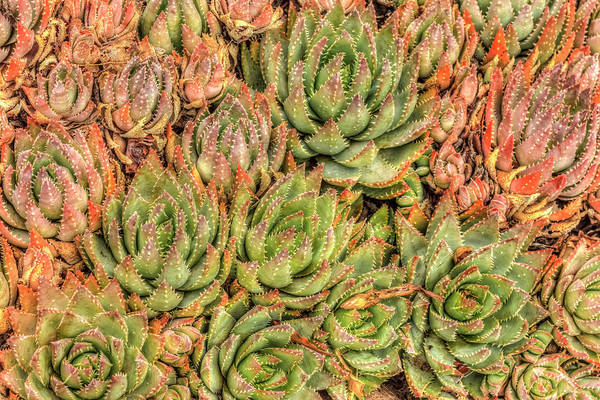 Wall Art - Photograph - Red Aloe Succulent Plants, Old Town by Stuart Westmorland