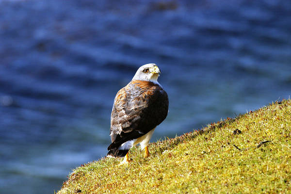 Wall Art - Photograph - Red-backed Hawk by David Hosking