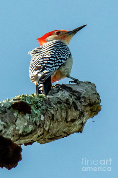 Photograph - Red-bellied Woodpecker by Michael D Miller