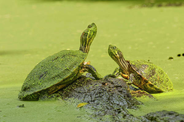 Wall Art - Photograph - Red-eared Slider, Creasey Mahan by Adam Jones