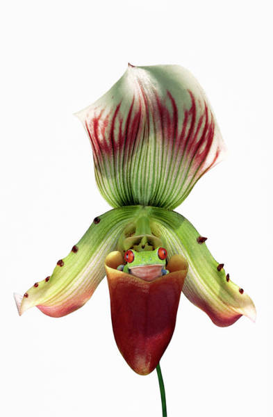 Hiding Photograph - Red-eyed Tree Frog In Slipper Orchid by Gail Shumway