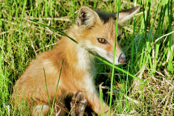 Wall Art - Photograph - Red Fox by Jeffry Warrington