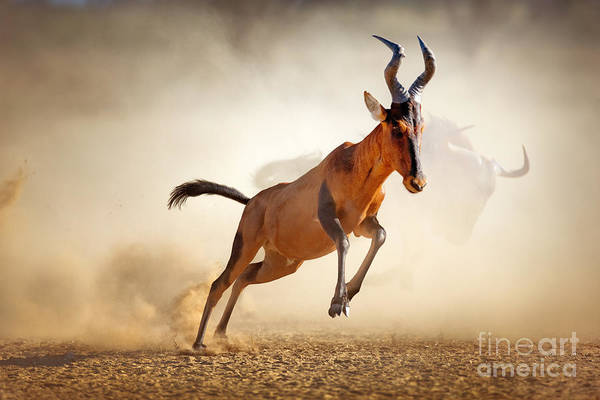 Wall Art - Photograph - Red Hartebeest Running In Dust - by Johan Swanepoel